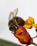 5F1A9798 Honey bee.jpg