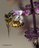 5F1A9896 Honey Bee with Basil.jpg