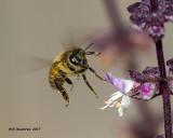 5F1A9897 Honey Bee with Basil.jpg