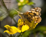 5F1A0092 Painted Lady.jpg