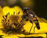 5F1A0100 Syrphid Flies Syrphidae.jpg