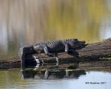 5F1A0155 American Alligator.jpg