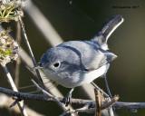 5F1A9937 Blue-gray Gnatcatcher.jpg