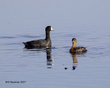 5F1A9964 Coot and Grebe.jpg