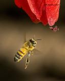 5F1A0185 Honey Bee.jpg
