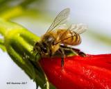 5F1A0214 Honey Bee.jpg