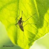 5F1A0245 Mosquito.jpg