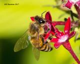 5F1A0286 Honey Bee.jpg