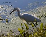 5F1A9918 Snowy Egret.jpg