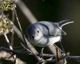 5F1A9940 Blue-gray Gnatcatcher.jpg