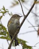 5F1A0425 Yellow-rumped Warbler.jpg
