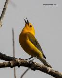 _MG_2436 Prothonotary Warbler.jpg