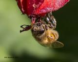 5F1A0584 Honey Bee.jpg