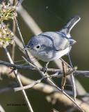 5F1A9937 A Blue-gray Gnatcatcher.jpg