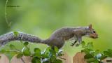 _MG_4910 Gray Squirrel.jpg