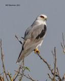 _MG_9371 White-tailed Kite.jpg