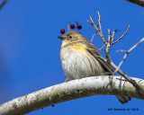 5F1A0623 Yellow-rumped Warbler.jpg