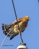 5F1A0736 Red-shouldered Hawk.jpg