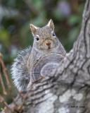 5F1A0874 Grey Squirrel.jpg