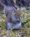 5F1A0886 Grey Squirrel.jpg