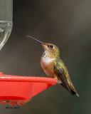 5F1A0917 Rufus Hummingbird.jpg