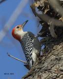 5F1A0953 Red-bellied Woodpecker.jpg