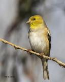 5F1A1061 American Goldfinch.jpg