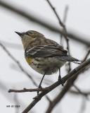 5F1A1485 Yellow-rumped Warbler.jpg