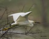 5F1A1529 Snowy Egret.jpg