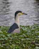 5F1A1682 Black-crowned Night Heron.jpg