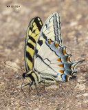 5F1A1765 Tiger Swallowtail.jpg