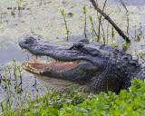 5F1A1782 American Alligator.jpg