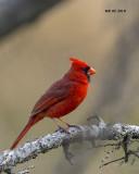 5F1A1842 Northern Cardinal.jpg