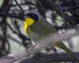 5F1A1924 Common Yellow-throat.jpg
