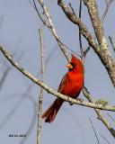 5F1A2001 Northern Cardinal.jpg