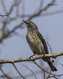 5F1A1891 Yellow-rumped Warbler.jpg