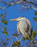 5F1A2336 Great Blue Heron.jpg