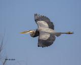 5F1A2350 Great Blue Heron.jpg