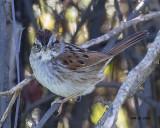 5F1A2420 Swamp Sparrow.jpg