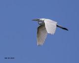 5F1A2486 Great Egret.jpg