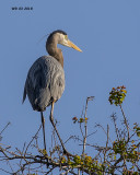 5F1A2315 Great Blue Heron.jpg