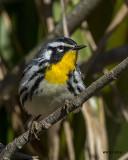 5F1A2769 Yellow-throated Warbler.jpg