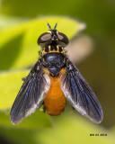 5F1A2893 Feather-legged fly(Trichopoda).jpg