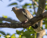 5F1A3041 White-winged Dove.jpg