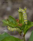 5F1A3284 Monarch cats.jpg
