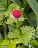 5F1A3297 Wild Strawberry.jpg