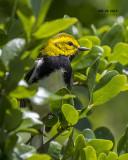5F1A3716 Black-throated Green Warbler.jpg