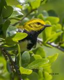 5F1A3708 Black-throated Green Warbler.jpg