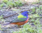 5F1A3940 Painted Bunting.jpg