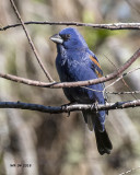 5F1A3998 Blue Grosbeak.jpg